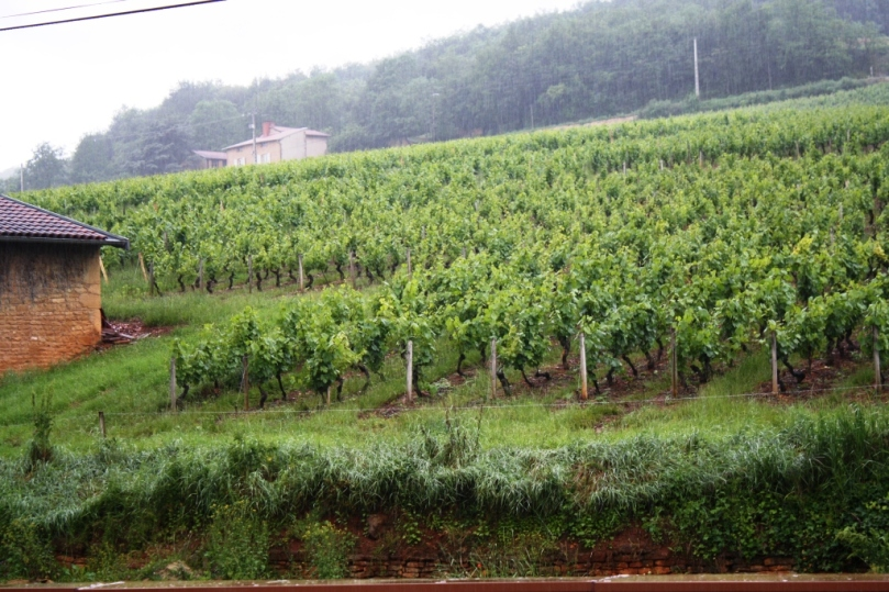 Vineyards everywhere!