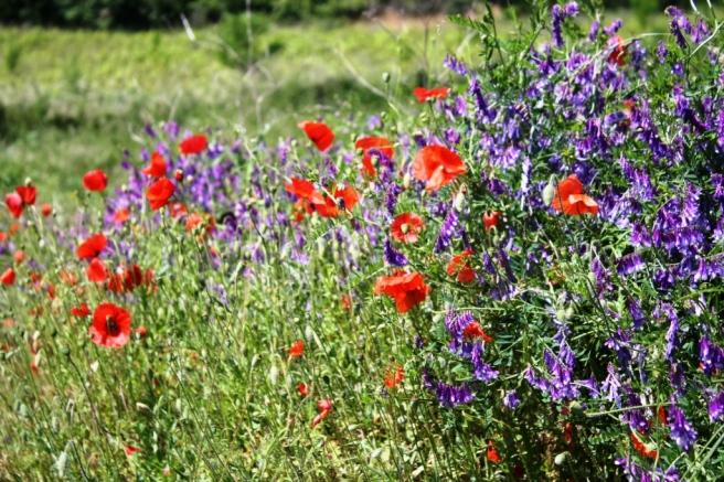 Poppies Everywhere!